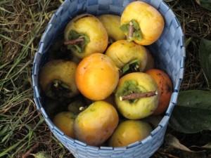柿もぎ(4)